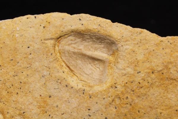 Lamellaptychus sp.