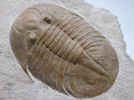 Pseudobasilicus lavrovi