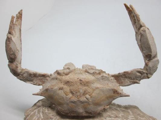 Portunus granulatus