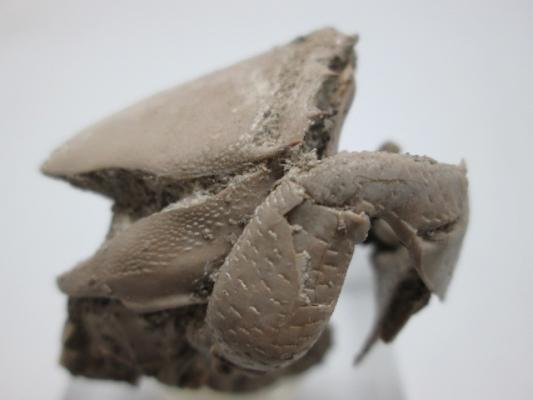 Ranilia sp. (cangrejo fósil)
