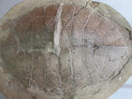 Anosteira sp. (tortuga fósil)