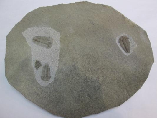 Hatangia scita