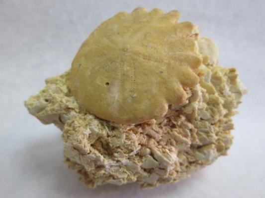Rotuloidea fimbriata