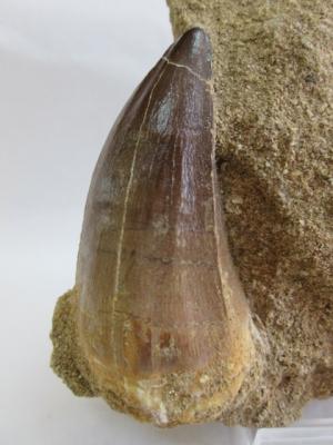 Mosasaurus anceps (diente)