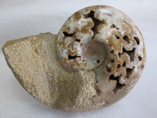 Lissoceras sp. (pulido)