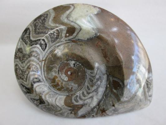 Goniatites (pulido)