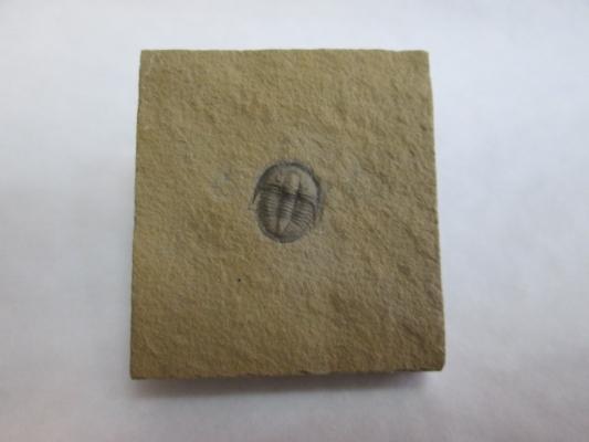 Cedaria minor